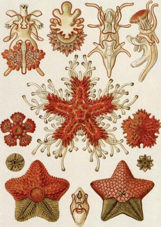 Art Forms of Nature, Asteridea