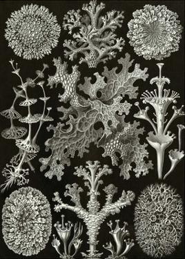Art Forms of Nature, Lichenes by Ernst Haeckel