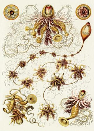 Art Forms of Nature, Siphonophorae
