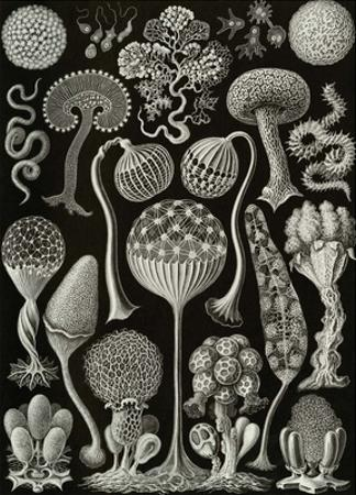 Art Forms of Nature, Thalamophora by Ernst Haeckel