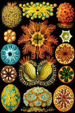 Ascidiae Nature by Ernst Haeckel by Ernst Haeckel