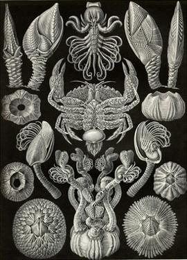 Barnacles by Ernst Haeckel