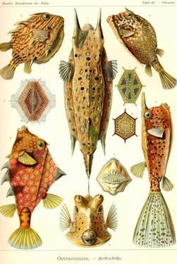 Boxfish by Ernst Haeckel
