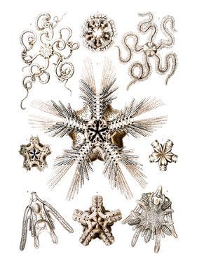 Brittle Stars by Ernst Haeckel