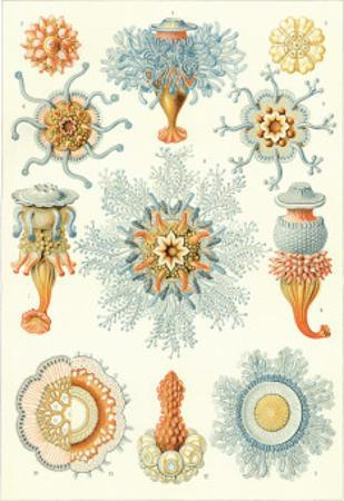 Colonial Jellyfish, Tablet 93, c.1899-1904 by Ernst Haeckel