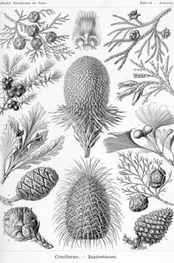 Conifers by Ernst Haeckel