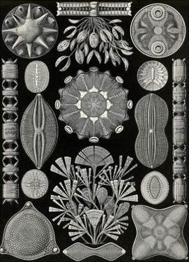 Diatoms by Ernst Haeckel