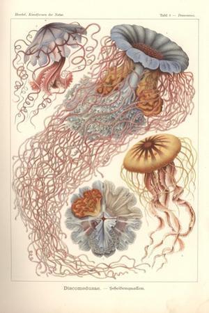 Discomedusae - Scheibenquallen, Pl. 8 from 'Kunstformen Der Natur', Engraved by Adolf Giltsch,…