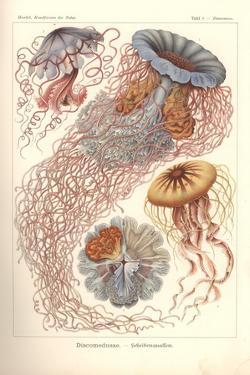 Discomedusae - Scheibenquallen, Pl. 8 from 'Kunstformen Der Natur', Engraved by Adolf Giltsch,… by Ernst Haeckel