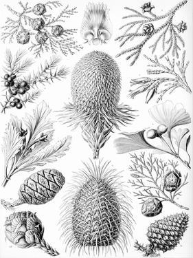Examples of Coniferae from 'Kunstformen Der Natur', 1899 by Ernst Haeckel