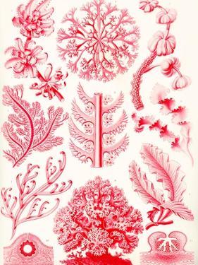 Examples of Florideae from 'Kunstformen Der Natur', 1899 by Ernst Haeckel