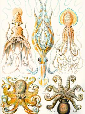 Examples of Various Cephalopods 'Kunstformen Der Natur', 1899 by Ernst Haeckel