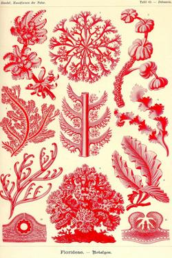 Floridae by Ernst Haeckel