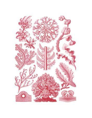 Florideae by Ernst Haeckel