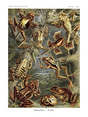 Frogs by Ernst Haeckel