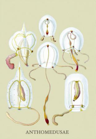 Jellyfish: Anthomedusae by Ernst Haeckel