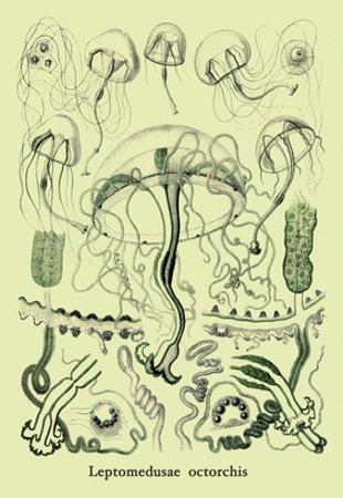 Jellyfish: Leptomedusae Octorchis by Ernst Haeckel