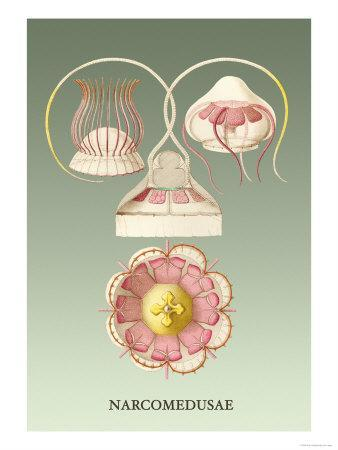 Jellyfish: Narcomedusae