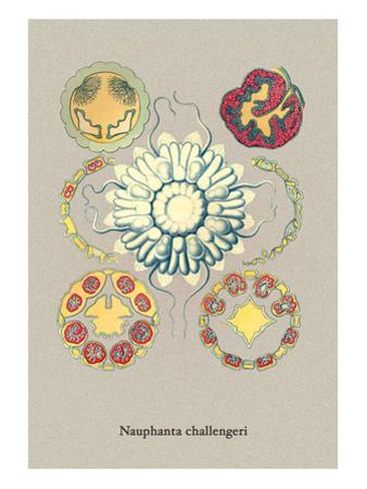 Jellyfish: Nauphanta Challengeri by Ernst Haeckel