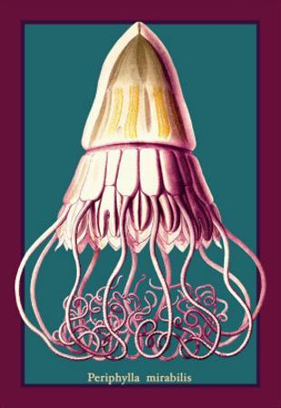 Jellyfish: Periphylla Mirabilis by Ernst Haeckel