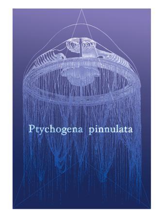 Jellyfish: Ptychogena Pinnulata by Ernst Haeckel