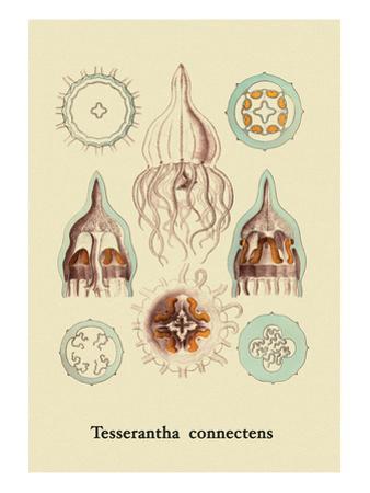 Jellyfish: Tesserantha Connectens by Ernst Haeckel