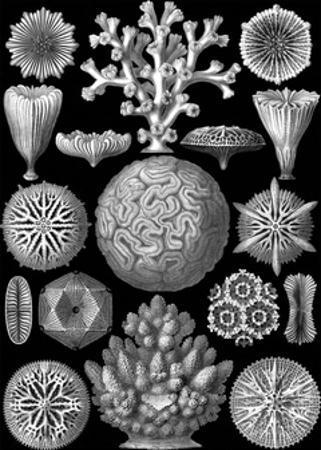 Microscopic Hexacoralla