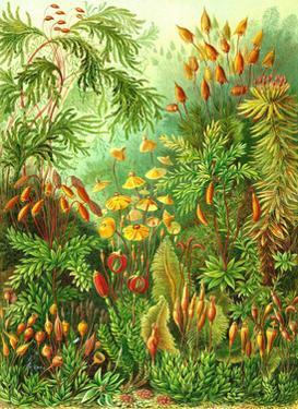 Muscinae by Ernst Haeckel