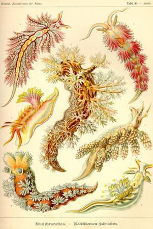 Nudibranch Gastropod Mollusks