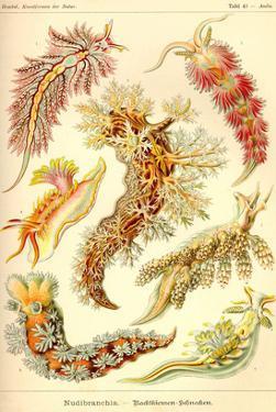 Nudibranch Gastropod Mollusks by Ernst Haeckel