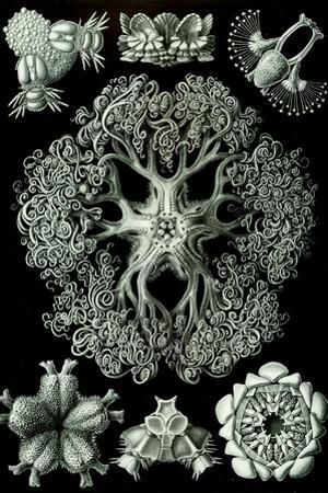 Ophiodea Nature by Ernst Haeckel by Ernst Haeckel