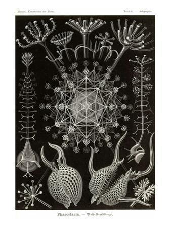 Phaeodaria Radiolarians by Ernst Haeckel