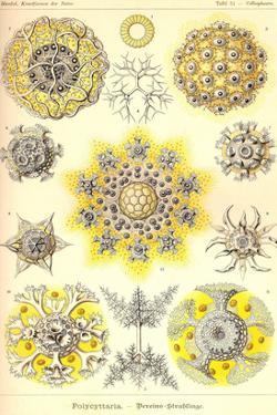 Polycytaria Radiolaria by Ernst Haeckel