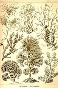 Seaweed by Ernst Haeckel