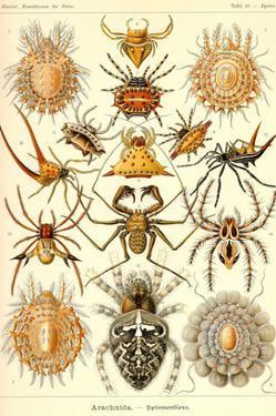 Spiders by Ernst Haeckel