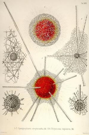 Spongospaera Streptacantha and Dictyosoma Trigonizon by Ernst Haeckel