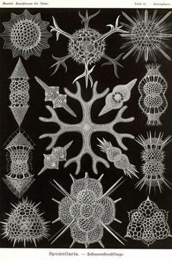 Spumellaria by Ernst Haeckel