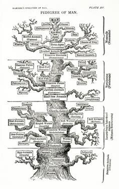Tree of Life from the Evolution of Man by Ernst Haeckel