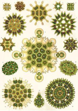 Varieties of Pediastrum from 'Kunstformen Der Natur', 1899 by Ernst Haeckel