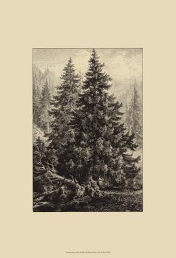 Spruce Pine by Ernst Heyn