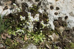 Erophila verna/Draba verna/Spring Drave