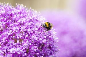 Honey Bee on Violet Allium by essentialimagemedia