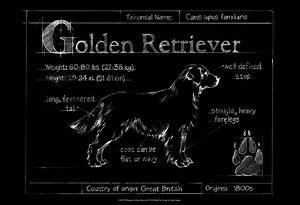 Blueprint Golden Retriever by Ethan Harper