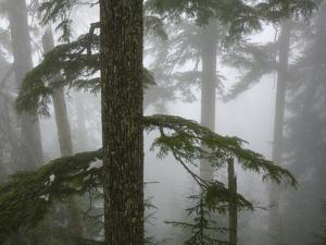 Coniferous Forest in Fog, Mount Baker-Snoqualmie National Forest, Washington. by Ethan Welty