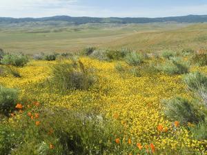 Antelope Valley Poppy Reserve, California, USA by Ethel Davies