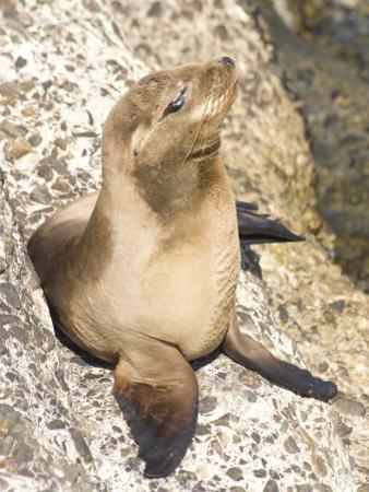 Baby Harbor Seal, Child's Beach, La Jolla, Near San Diego, California, USA by Ethel Davies