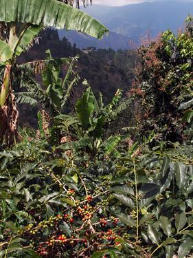 Blue Mountain Coffee Beans, Lime Tree Coffee Plantation, Blue Mountains, Jamaica, West Indies by Ethel Davies