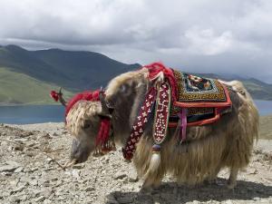 Decorated Yak, Turquoise Lake, Tibet, China by Ethel Davies