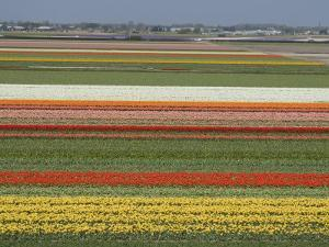 Fields of Flowers Growing Near Keukenhof Gardens, Near Leiden, Netherlands, Europe by Ethel Davies