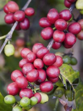 Ripe Coffee Berries, Kona Joe's Coffee Plantation, Kona, Hawaii by Ethel Davies